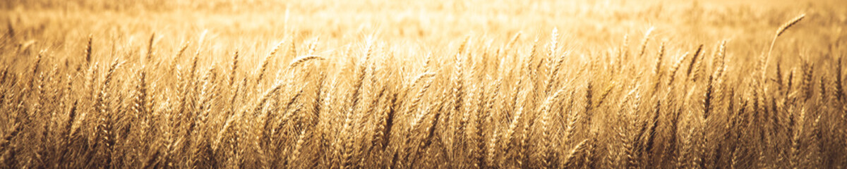 Natural Background Banner Of Ripe Golden Wheat - Harvest Time Concept