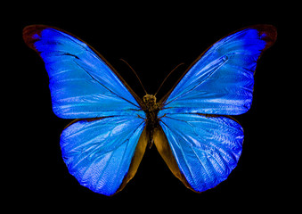 butterfly morpho rhetenor on black background