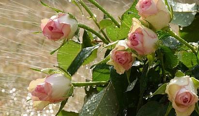 Fototapeta Róże II obraz
