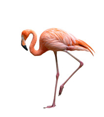 american flamingo bird (Phoenicopterus ruber) isolated on white