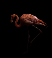 Foto auf Leinwand Flamingo american flamingo bird in dark backhround