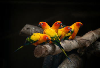 Fotorolgordijn Papegaai group of sunconure parrot bird dark background