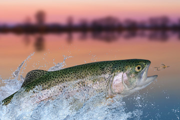 Fly fishing. Rainbow trout fish jumping for catching synthetic insect with splashing in water
