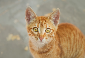 Cute young red tabby cat kitten looking up with wonderful gold orange colored eyes and watching curiously, top down portrait, Greece