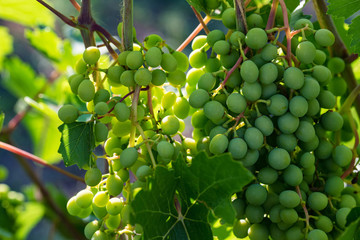 Bunch of unripe green grapes on vine outdoors