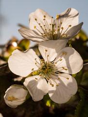 Kirschblüte im Frühling Licht