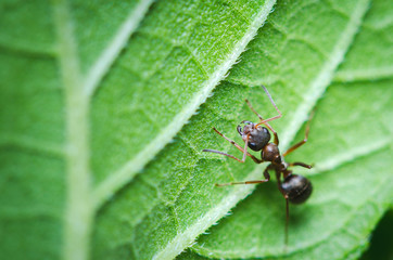 Macroshot of small ant sitting on green leaf