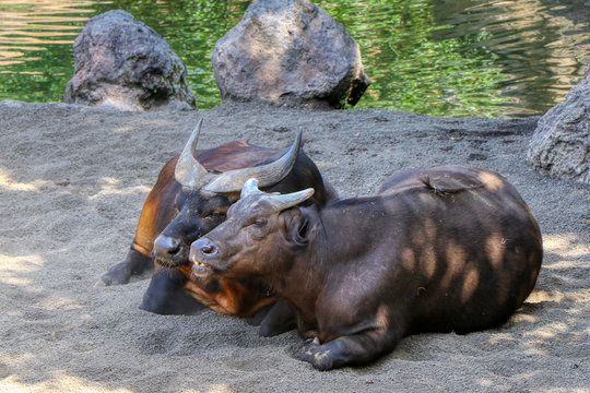 A couple of African forest buffalo in a zoo