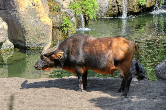 An African forest buffalo in a zoo