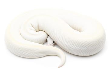 Ball Python Reptile Snake Boa on White Background