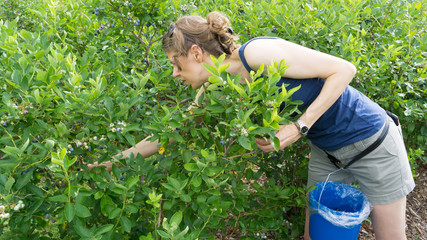 Woman picking fresh blueberries from blueberry bushes