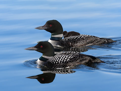 Male and female common loons swimming in blue water and a baby chick takes ride on the back of one of the parent