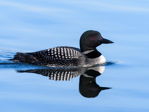 Common Loon with Reflection Swimming in Blue Water