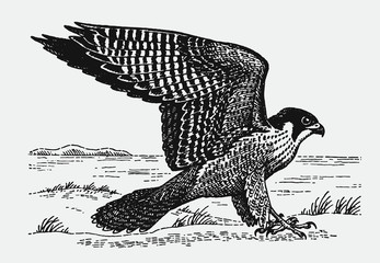 Peregrine falcon (falco peregrinus) sitting on the ground and spreading its wings. Illustration after a historic engraving from the early 20th century Wall mural