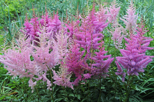 Pink Astilbe close up growing in the garden.