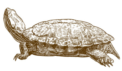 engraving illustration of pond slider turtle