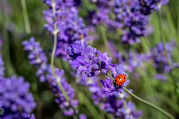 Seven spot ladybird on a lavender plant