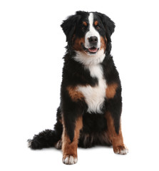 Funny Bernese mountain dog on white background