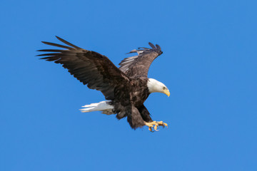 Bald Eagle landing with wings spread