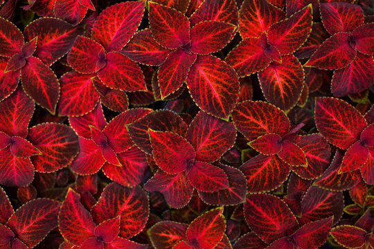 Coleus dark red and black leaves decorative background close up, painted nettle flowering plant, burgundy foliage texture, abstract maroon natural pattern, colorful grunge floral design, copy space