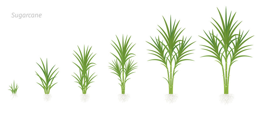 Crop stages of Sugarcane. Growing sugar cane plant used for sugar production. Vector Illustration animation progression.