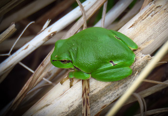 European tree frog (Hyla arborea), a small green amphibian in The Zwin nature park, Belgium, Europe