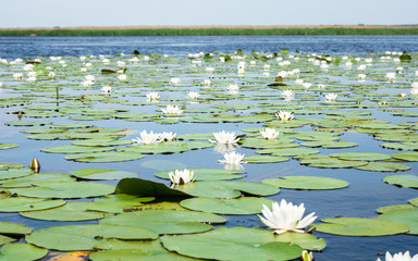 Stores photo Nénuphars field of white water lilies on the lake