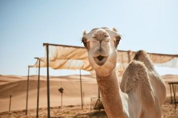 Tuinposter Kameel Curious camel in desert