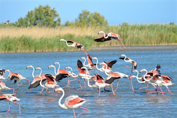 Flamingos running on water (Phoenicopterus ruber) after flying, in the Camargue is a natural region located south of Arles, France