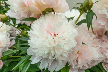 Spring peony flowers in garden