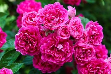 shrub climbing rose the excelsa