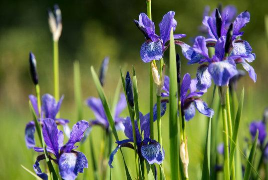 Beautiful blue bright flowers of wild iris