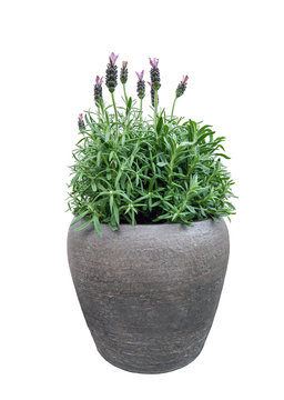 Purple Lavender flowers in pot isolated on white background