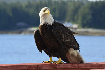 Bald Eagle in Ketchikan, Alaska