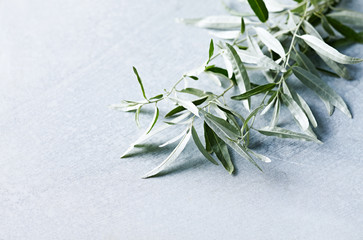 Wild olive branches on gray stone background. Copy space