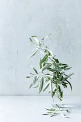 Wild olive branches in glass vase. Still life. Copy space