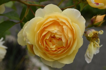 Yellow rose in Victoria, Canada