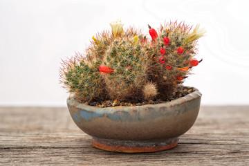 Mammillaria Kaktus Frucht rot