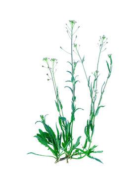 Capsella bursa-pastoris isolated on white background.