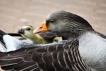 greylag goose protecting young