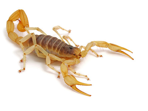 giant desert hairy scorpion, Hadrurus arizonensis, side view on white background