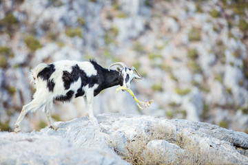 Young goat eating banana peel left by turists in mountains