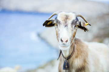Female goat with bell in mountains on coast
