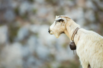 White goat with bell in mountains