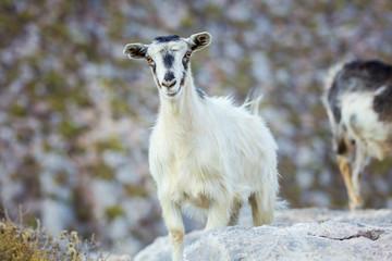 White female goat in mountains