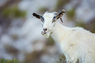 White female goat chewing something in mountains