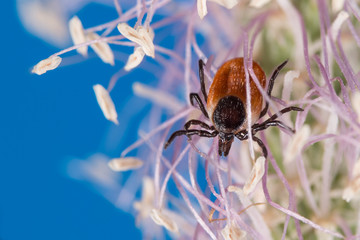 Deer tick female on flowering grass head, blue sky background. Ixodes ricinus. Dangerous parasite crawling on white-violet bloom. Ixodid, carrier of encephalitis, Lyme disease or babesiosis infection.