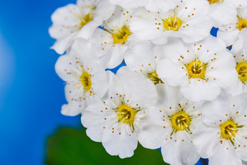 Ornamental white Vanhoutte spirea flowers in detail. Spiraea vanhouttei. May bush. Closeup of a flowering spring shrub on blue sky background. Romantic delicate blooms, yellow center and long stamens.