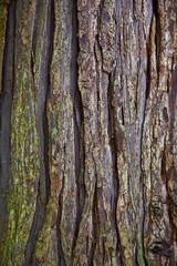 Rinde eines Mammutbaumes