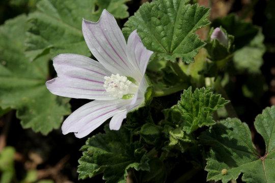 delicato fiore di Malva neglecta